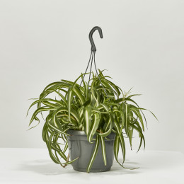 Chlorophytum comosum curly spider