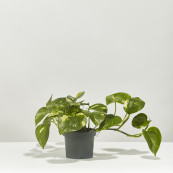 Devil s ivy epipremnum pinnatum