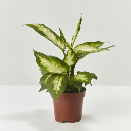 Dieffenbachia 25cm with white ceramic pot