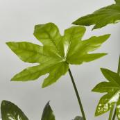 Fatsia japonica 2ltr pot