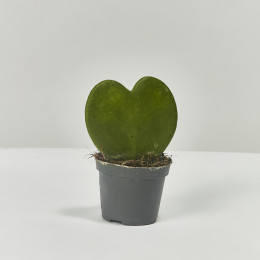 Sweetheart plant hoya kerrii