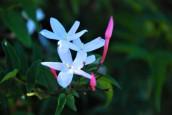 Jasminum polyanthum trellis