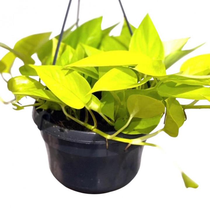 Neon pothos devils ivy