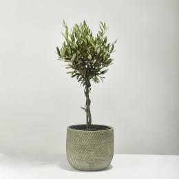 Olive tree olea europaea