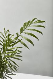 Parlour palm 30cm