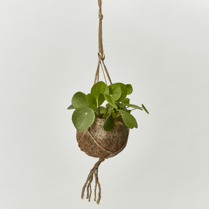 Chinese money plant string pot included