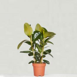 Rubber plant robusta