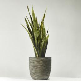 Snake plant laurentii 100cm