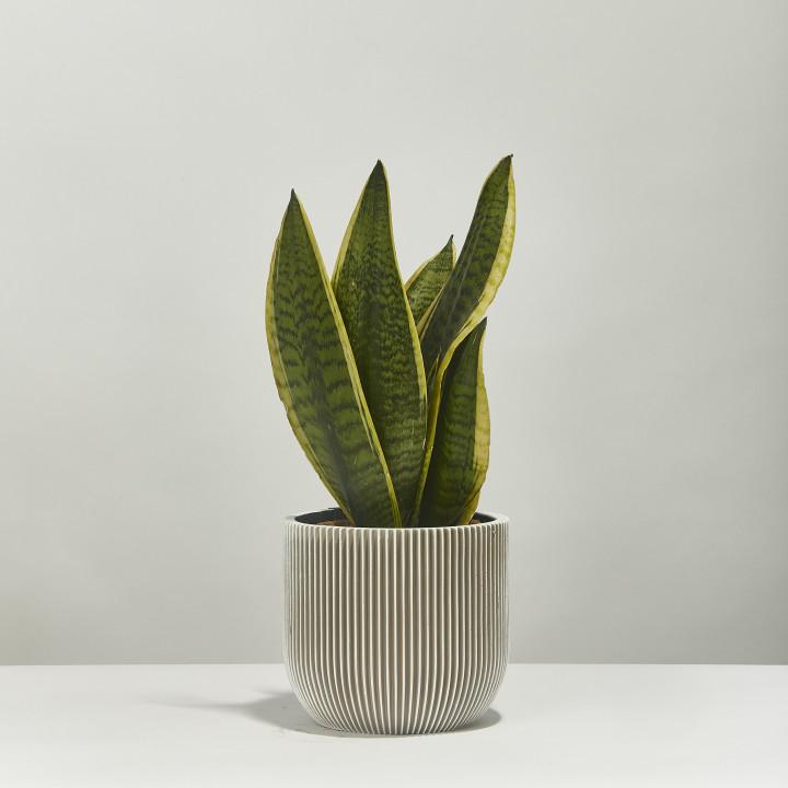 Snake plant sansevieria 40cm