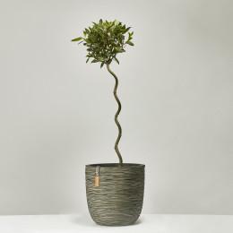 Twist stem bay tree