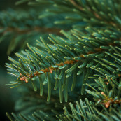 Real 6 6 5ft wicklow mountain fir
