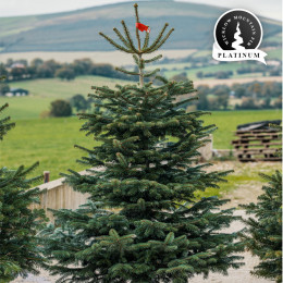 Real 7ft wicklow mountain fir