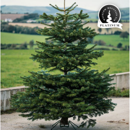 Real 9ft wicklow mountain fir